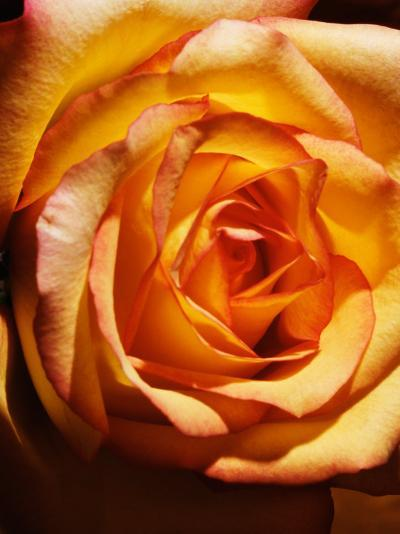 Close-Up of Beautiful Blooming Orange Rose--Photographic Print