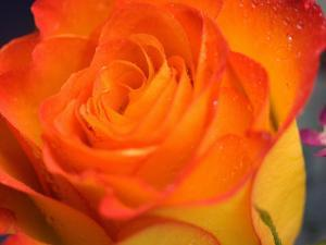 Close-Up of Beautiful Blooming Rose