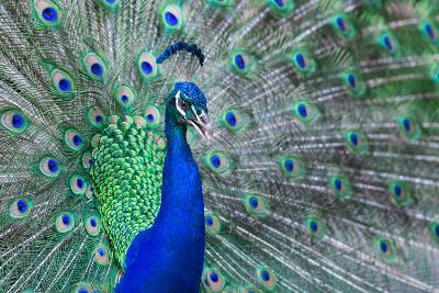 Close up of Beautiful Male Peacock with Feathers-ommaphat chotirat-Photographic Print