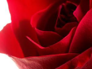 Close-Up of Beautiful Red Flower Petals on Rose