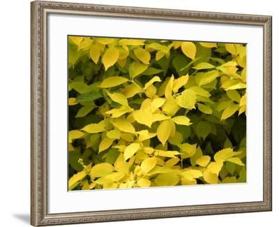 Close-Up of Beautiful Yellow Autumn Leaves on Plant--Framed Photographic Print
