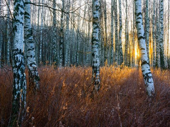 Close-Up of Birch Tree Trunks in Forest-Utterstr?m Photography-Photographic Print