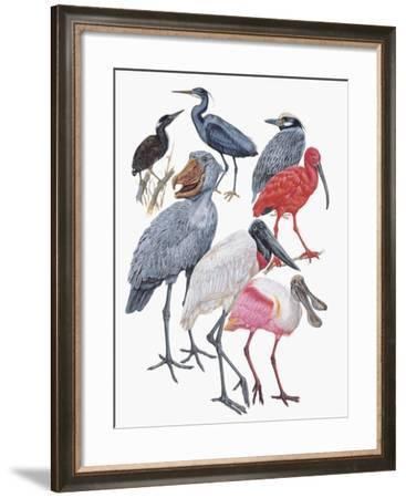 Close-Up of Birds of the Ciconiiformes Family--Framed Giclee Print