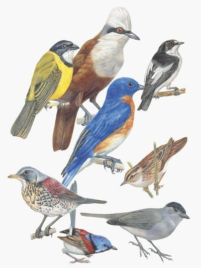 Close-Up of Birds of the Passeriformes Family--Giclee Print
