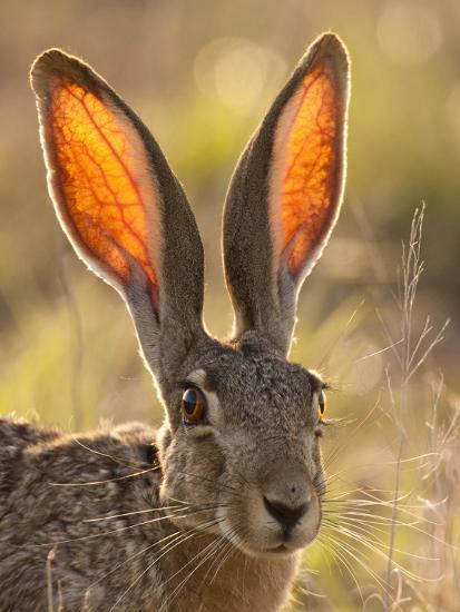 Jack Rabbit Usa >> Close Up Of Black Tailed Jackrabbit Maverick County Texas Usa