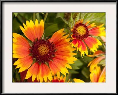Close Up of Blanket Flowers, Gaillardia Species-Darlyne A^ Murawski-Framed Photographic Print