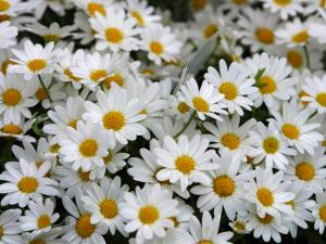 Close Up of Blooming Brilliant Daisies
