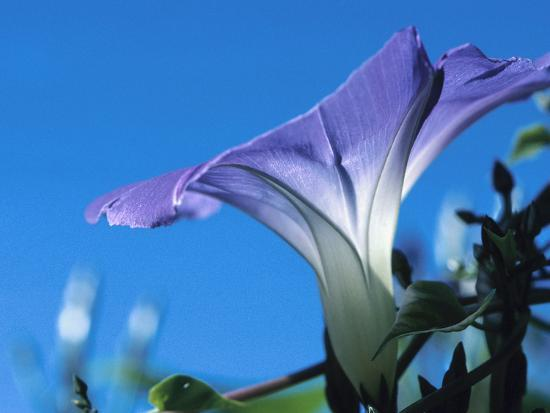 Close-up of Blooming Morning Glory--Photographic Print