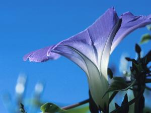 Close-up of Blooming Morning Glory