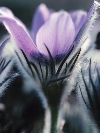 Close-up of Blooming Pasque Flower with Purple Petals--Photographic Print