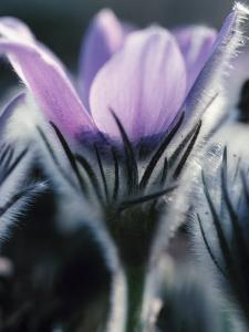 Close-Up of Blooming Pasque Flower with Purple Petals