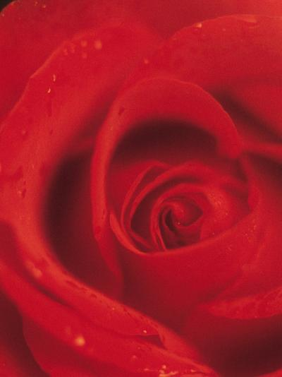 Close-Up of Blooming Petals of Red Rose--Photographic Print