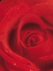 Close-Up of Blooming Petals of Red Rose