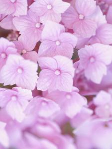 Close-up of Blooming Pink Blossoms