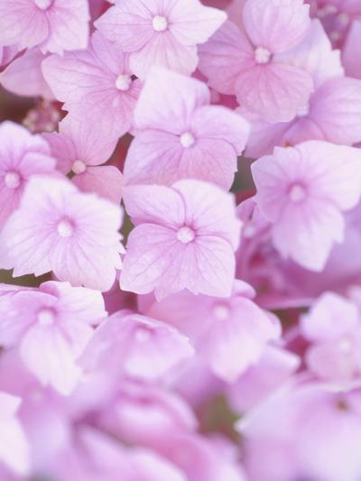 Close-up of Blooming Pink Blossoms--Photographic Print