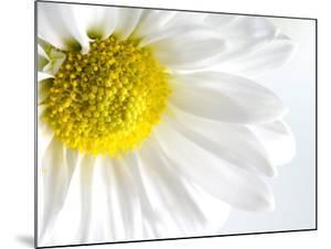 Close-Up of Blooming White Daisy