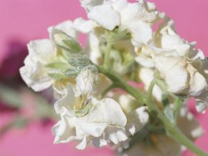Close-Up of Blossoming White Flowers on Pink Background