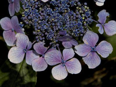 Close Up of Blue Hydrangea Flowers-Joe Petersburger-Photographic Print