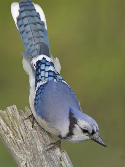 Close-up of Blue Jay on Dead Tree Limb, Rondeau Provincial Park, Ontario, Canada-Arthur Morris-Photographic Print