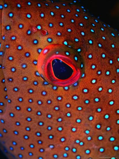 Close Up of Blue Spotted Grouper, St. Anne Sandy Point, St. Kitts & Nevis-Mark Webster-Photographic Print