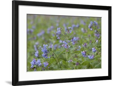 Close-Up of Bluebells, Hyacinthoides Non-Scripta, Blooming in Springtime-Jeff Mauritzen-Framed Photographic Print