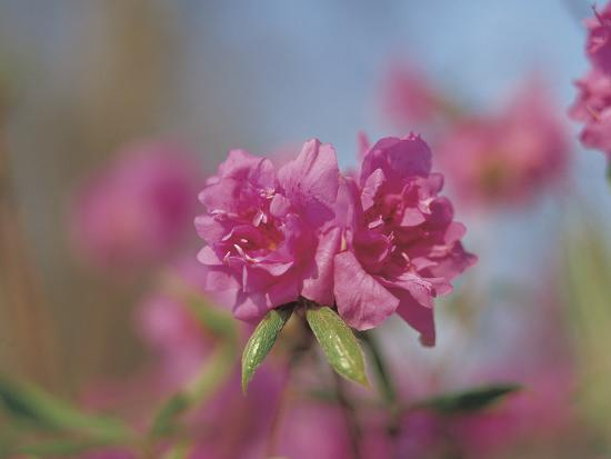 Close-up of Bright Pink Wildflower Blossoms--Photographic Print
