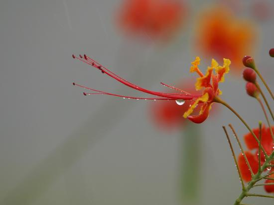 Close-up of Bright Red and Yellow Flowers Dripping with Water Droplets--Photographic Print
