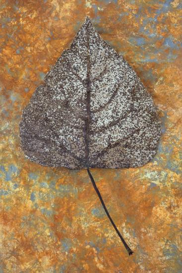 Close Up of Brown and Bleached Autumn or Winter Leaf of Black Poplar or Populus Nigra Tree-Den Reader-Photographic Print