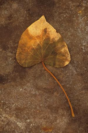 https://imgc.artprintimages.com/img/print/close-up-of-brown-autumn-or-winter-leaf-of-ivy-or-hedera-helix-lying-on-tarnished-metal_u-l-pz0c820.jpg?p=0