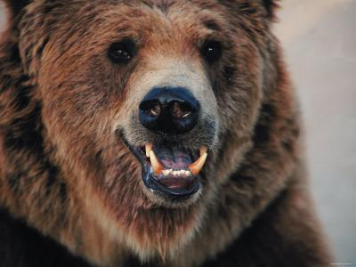 Close Up of Brown Bear Showing Teeth--Photographic Print