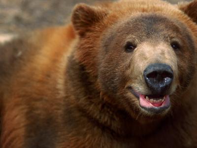 Close-up of Brown Bear-Elizabeth DeLaney-Photographic Print