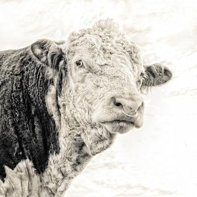 Close Up of Bull's Head-Mark Gemmell-Photographic Print