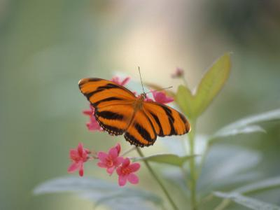 Close-up of Butterfly, St. Croix, VI-Ed Lallo-Photographic Print