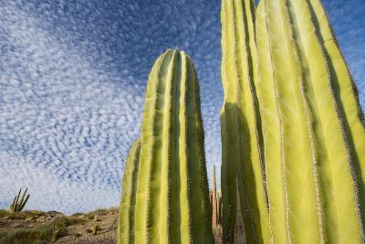 Close Up of Cacti Against a Cloud Studded Blue Sky-Michael Melford-Photographic Print