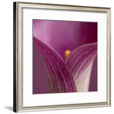Close-up of Calla Lily-Clive Nichols-Framed Photographic Print