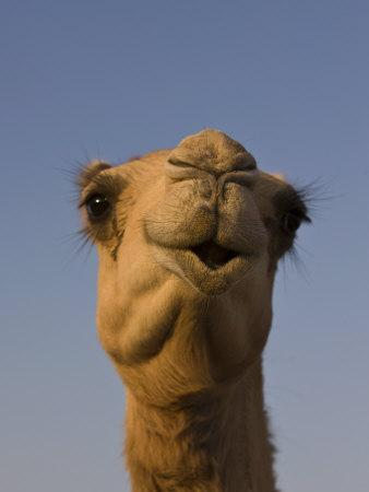 Close-Up of Camel's Head in Bright Evening Light, Near Abu Dhabi-Martin Child-Photographic Print