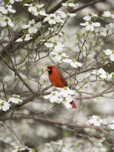 Close-up of Cardinal in Blooming Tree-Gary Carter-Photographic Print