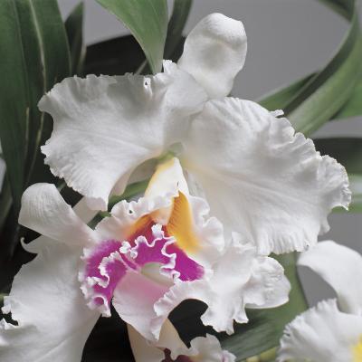 Close-Up of Cattleya Flowers-G^ Cigolini-Photographic Print