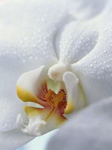 Close Up of Center of White Orchid with Yellow Center