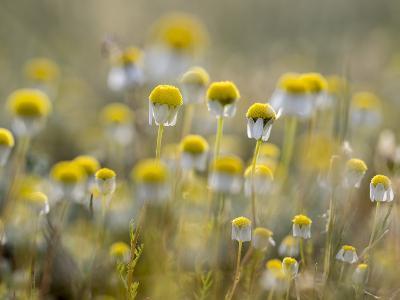 Close Up of Chamomile, Hortobagy National Park in Spring. Hungary-Martin Zwick-Photographic Print