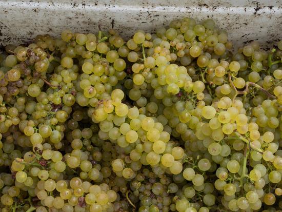 Close-up of Chardonnay grapes, Church Road Tom Chardonnay, Hawke's Bay, Hastings, North Island,...--Photographic Print