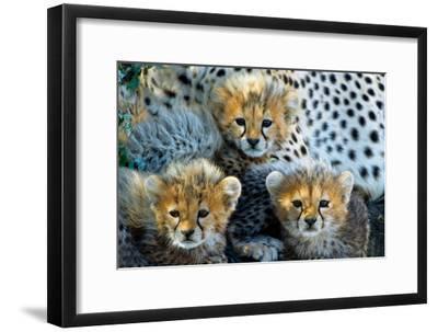 Close-Up of Cheetah (Acinonyx Jubatus) Cubs, Ndutu, Ngorongoro Conservation Area, Tanzania