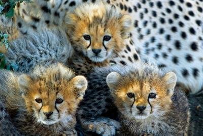 Close-Up of Cheetah (Acinonyx Jubatus) Cubs, Ndutu, Ngorongoro Conservation Area, Tanzania--Photographic Print