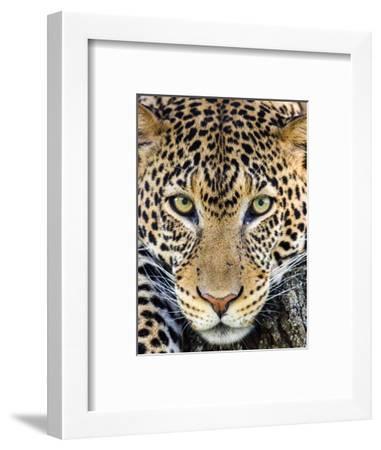 Close up of cheetah (Acinonyx jubatus) , Ngorongoro Conservation Area, Tanzania, Africa-Panoramic Images-Framed Photographic Print
