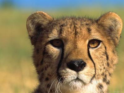 Close Up of Cheetah in the Wild--Photographic Print