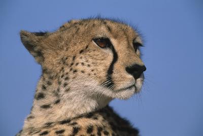 Close-Up of Cheetah-Paul Souders-Photographic Print