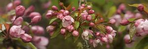 Close-Up of Cherry Blossom Buds