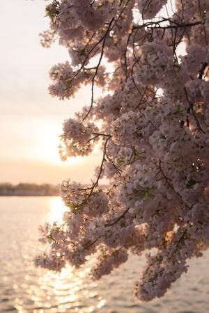 Close-Up of Cherry Blossom Petals in Full Bloom-Jeff Mauritzen-Photographic Print