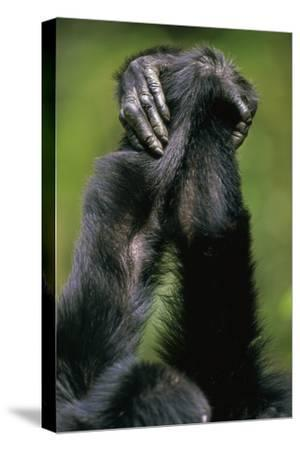 Close-Up of Chimpanzees Holding Hands