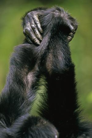 Close-Up of Chimpanzees Holding Hands--Photographic Print